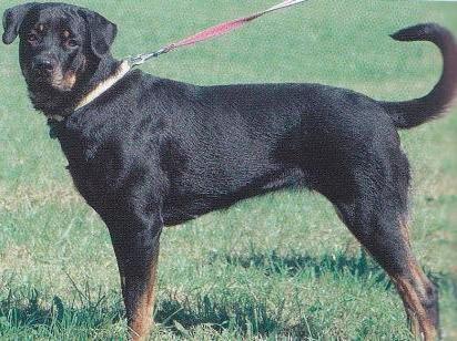 30 мар 2012 . Узнать больше о породе собак Ротвейлер, Вы сможете